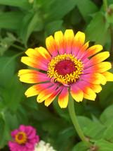 15 Seeds - Carousel Zinnia - Large Beautiful Blooms Flower - $8.99
