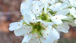 Native Plant, Shadbush, (Amelanchier canadensis) Wildlife food - $10.00