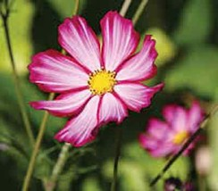 35+ COSMOS PINK PICOTEE FLOWER SEEDS / DROUGHT TOLERANT / LONG LASTING A... - $4.89