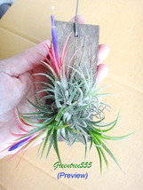 Tillandsia, Ionantha, Air plants x 1 - $7.99