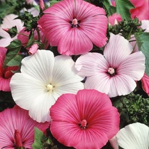 Rose Mallow Lavetera Tanagra 100 Flower Seeds - $12.98