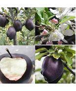 """"""" 30 PCS Black Diamond Apple Tree Plant Seeds GIM"""" - $15.18"""