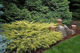 1 Starter of Juniperus Horizontalis 'Lime Glow' - Limeglow Creeping Juniper - $81.18