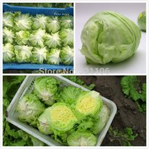 200 Lettuce Seeds like a ball ,delicious ,healthiest vegetable for all people  - $5.99