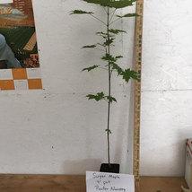 Sugar Maple quart pot- (Acer saccharum) image 3