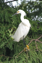 Snowy Egret 13 x 19 Unmatted Photograph - $35.00