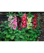 50 Seeds Country Romance Hollyhock - $6.99