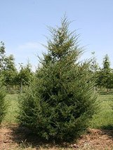 1 Starter Plant Of Eastern Red Cedar - Pot - $39.40