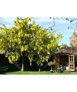 25 Golden Chain Tree Seeds Laburnum anagyroides - $10.88