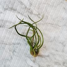 Air Plant, Tillandsia Caput-Medusa, medium size airplant, 4-5 inches image 2