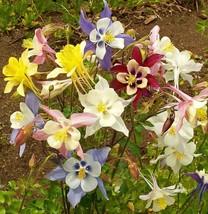 100+COLUMBINE MIX Seeds American Native Wildflower Aquilegia Garden/Cont... - $2.50