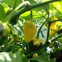 7 Pod Bublegum Yellow,10 semillas,seeds,Capsicum chinense,cosecha propia... - $2.22