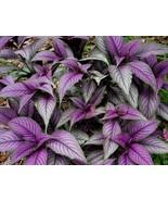 """Persian Shield Live Plant - Strobilanthes - Inside/Out Fit 6"""" Pot - $9.49"""