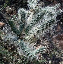 Cylindropuntia echinocarpa White Spines Glowing Silhouette Cactus 1 Section - $9.36
