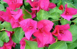 Well Rooted JUANITA HATTEN Live Bougainvillea starter/plug plant Outdoor Living - $48.00