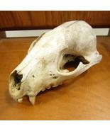 Opossum Skull                             Ships from Hudson, MI - $25.00