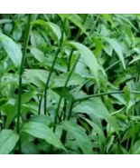 Organic Cutting Clinacanthus Nutans Sabah Snake Grass Leaves - $100.00