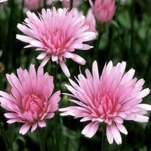 Crepis Pink Hawksbeard Flower Seeds (Crepis Rubra Pink) 50+Seeds - $4.49+
