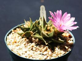 Rare Ariocarpus Trigonus Exotic Cactus Flower Color Aztekium Cacti Seed 10 Seeds - $18.00