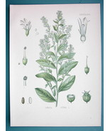 INDIAN TOBACCO Medicinal Lobelia Inflata - Beautiful COLOR Botanical Print - $21.42
