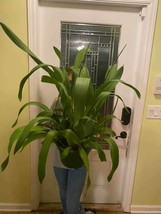 Wilsonara Tropic Breeze Everglades HCC/AOS Orchid HUGE Plant LOOK I dare you 322 image 2