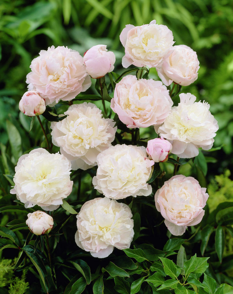 Primary image for 1 Gallon Pot Shirley Temple Peony Pale Pink Flower 1 Plant 3-5 Eye Established