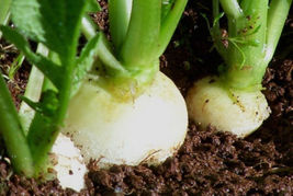 Organic Heirloom 300 Seeds Bulk White Hailstone Radish Radishes Globe Ve... - $12.45