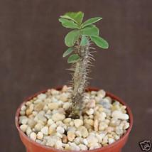 "SHIP From US, 4"" pot EUPHORBIA BEHARENSIS, succulent plant cacti cactus EC - $45.99"