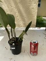 Pot Elegant Walker 'non' CATTLEYA Orchid Plant Pot BLOOMING SIZE 0506 T image 2