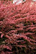Rose Glow Barberry shrub qt. pot (Berberis thunbergii 'Rose Glow')  image 4