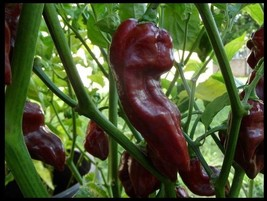 15 seeds Chocolate Devil's Tongue super RARE! Extreme Hot Pepper Great 4... - $1.98