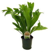 """4"""" pot - Rare Elkhorn Fern Plant - Polypodium polycarpon - Houseplant - ... - $51.00"""