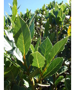 Laurus nobilis - 'Bay Leaf Tree' - Bay Laurel or Sweet Bay - Live Plant - $27.55