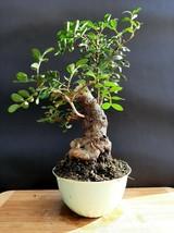 Bonsai Pistacia lentiscus - Exotic plant- Mastic Tree - Very old plant - $222.75