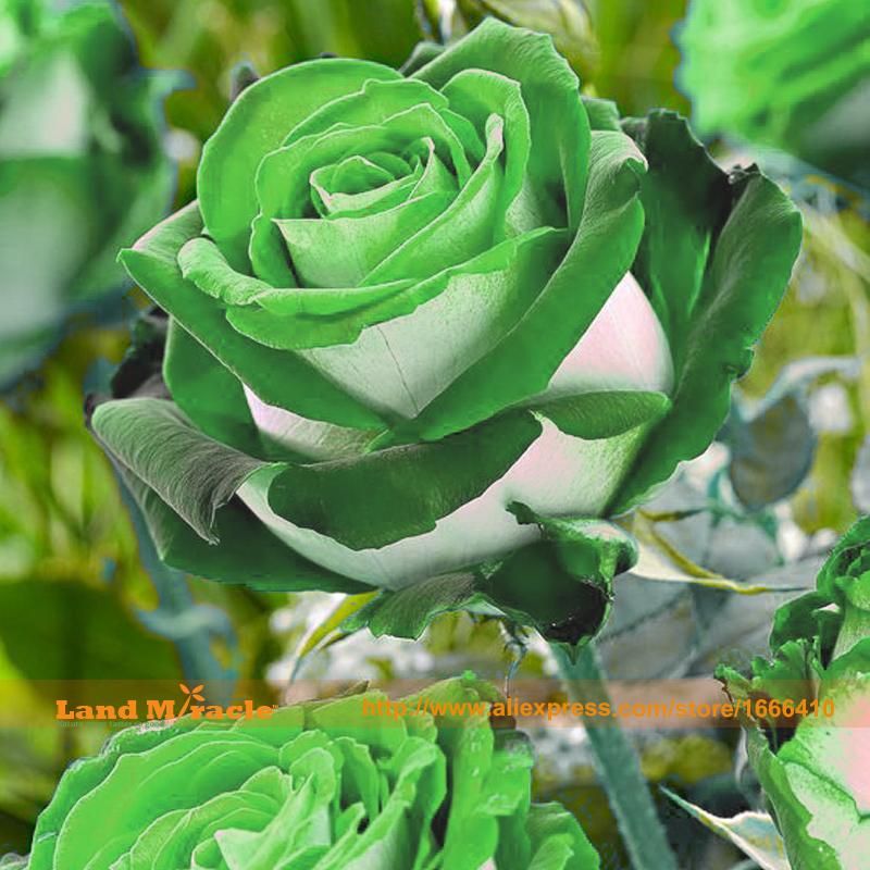50 Seeds/Pack, Hybrid Variety Rose Seeds, Rare Rose Flower Bonsai Seeds Ornament