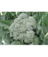 Broccoli Waltham 29 Non GMO Heirloom Garden Vegetable Seeds Sow No GMO® USA - $1.97+
