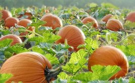 3 Seeds of Pumpkin Patch Sampler - $43.56