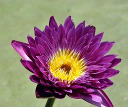 1pcs Very Beautiful Dark Purple Water Lily Nymphaea Corolata Aquatic IMA1 - $13.80
