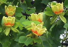 Tulip Tree ( liriodendrontulipifera) image 2