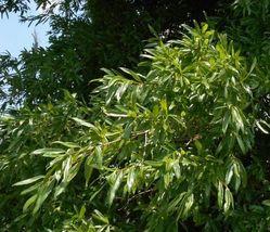 Willow Oak-(quercus phellos) image 4