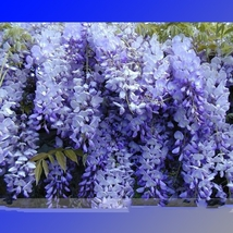 100 Seed 100% True Variety Blue Wisteria Strong Fragrant, DIY Beautiful ... - $18.99