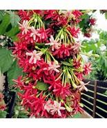 50pcs Seeds Graceful Rare Quisqualis Flower Bonsai Plant for Home Garden - $16.99