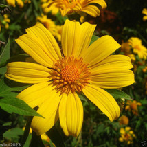 Mexican Sunflower Seeds - Yellow - 100 SEEDS  (Tithonia Speciosa Yellow ... - $2.93