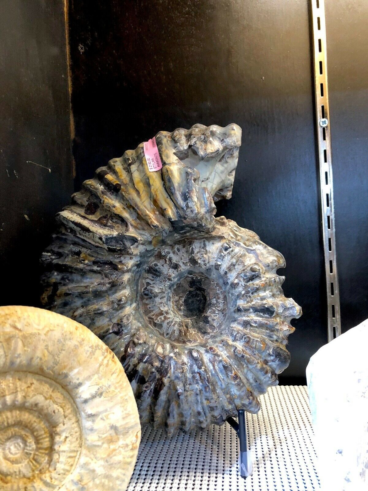 AMMONITE DINOSAUR FOSSIL HOME DECOR PIRATE GOLD COINS JURASSIC DISPLAY TREASURE