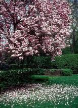 1 Saucer Magnolia- Magnolia soulangana image 2
