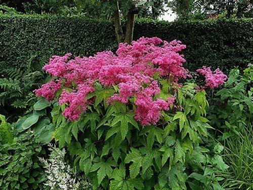 1 Packet of 50 Seeds Queen of The Prairie - Rosaceae - Filipendula Rubra
