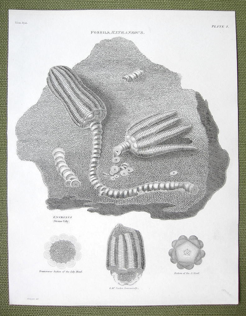 FOSSILS Mineralized Remains of Stone Lily - 1820 ABRAHAM REES Print