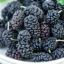Black-purple berry Russian black mulberry fruit tree seedling edible LIV... - $33.99