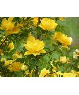 20 Seeds - Yellow Rose of Texas Bush - $8.99