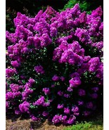 35+ Purple Crape Myrtle Tree  Drought Tolerant Shrub  Perennial  Flower ... - $9.80